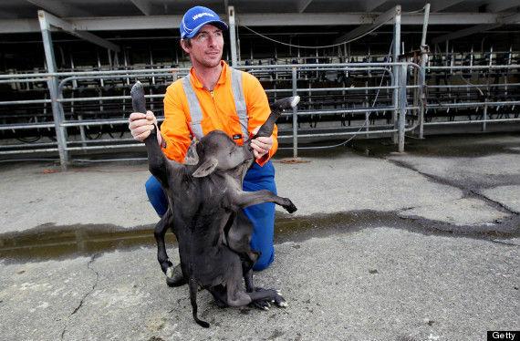 В Новой Зеландии родился теленок с 8 ногами, 4 ушами и 2 туловищами