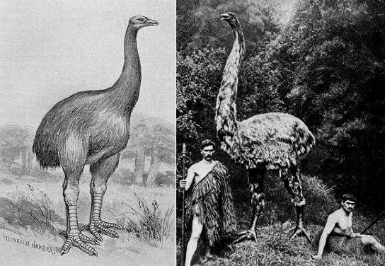 Исчезнувшие птицы Новой Зеландии - моа