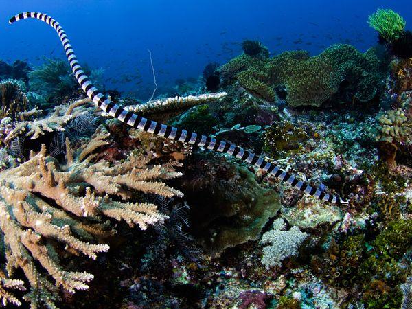 Ужевидный морской крайт (Laticauda colubrina)